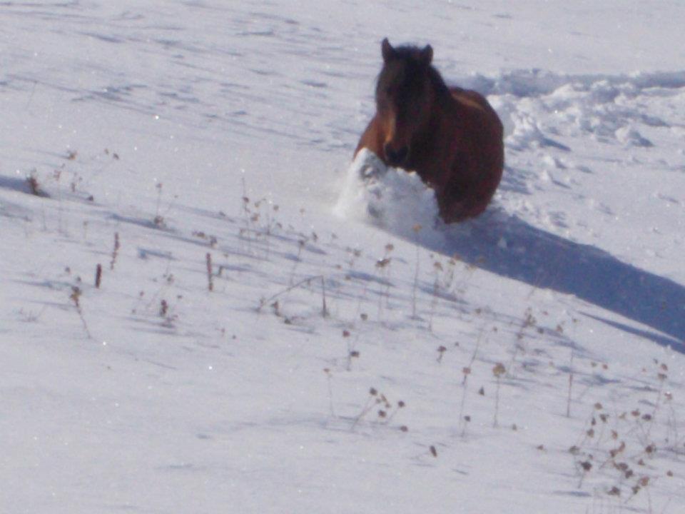 Cela Srbija hrani divlje konje na Vlasini