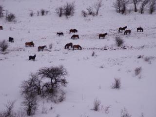 Divlje konje na Vlasini proganjaju glad i vukovi