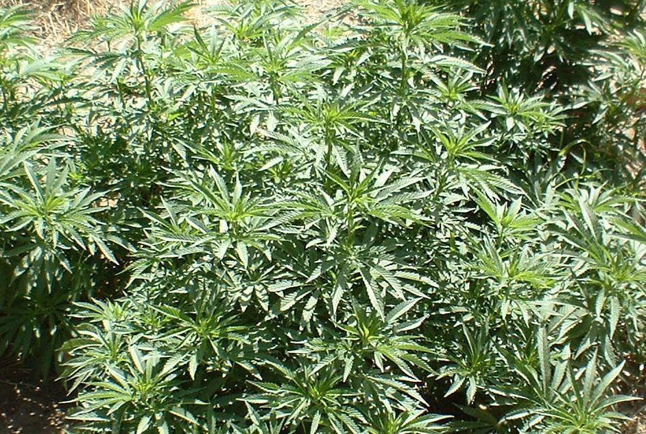 Gajili 40 stabljika marihuane na dve lokacije