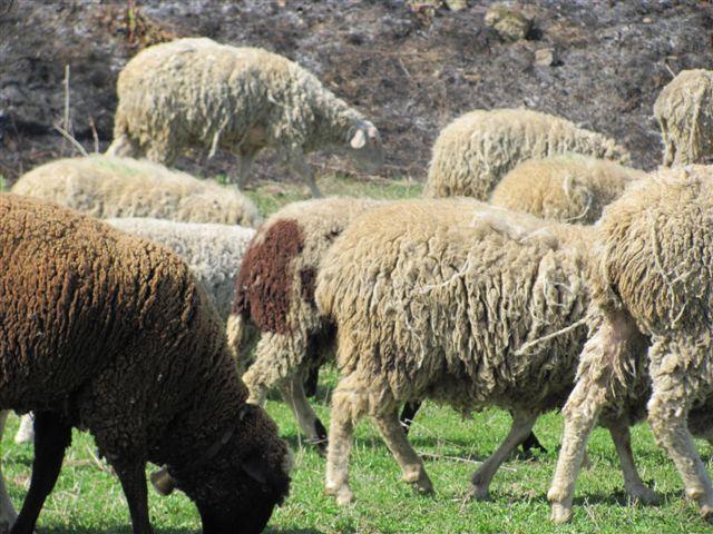 Vukovi zaklali stado ovaca u Velikom Bonjincu