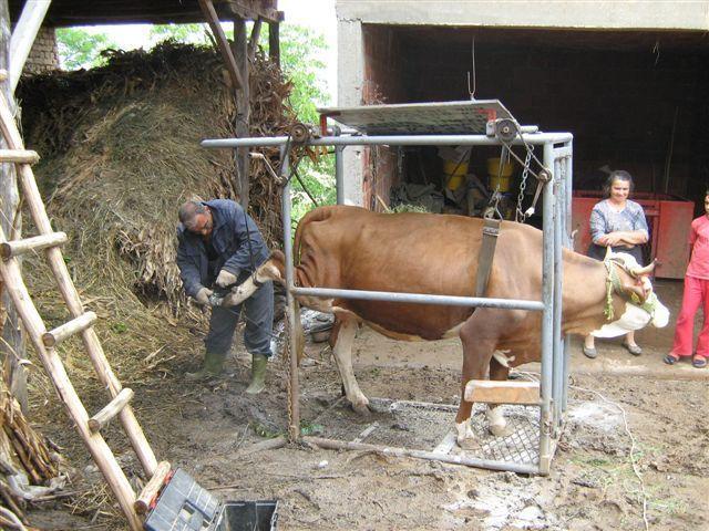 Pedikir za krave sa diplomom