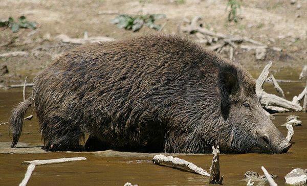 Rezervat za divlje svinje