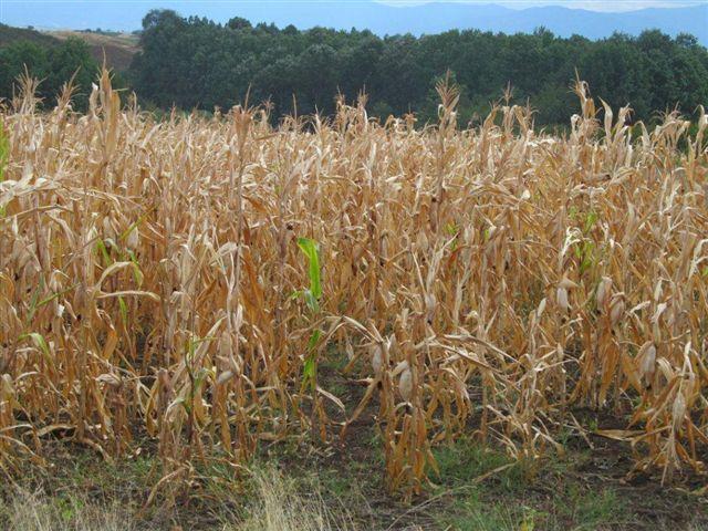 Suša smanjuje rod kukuruza