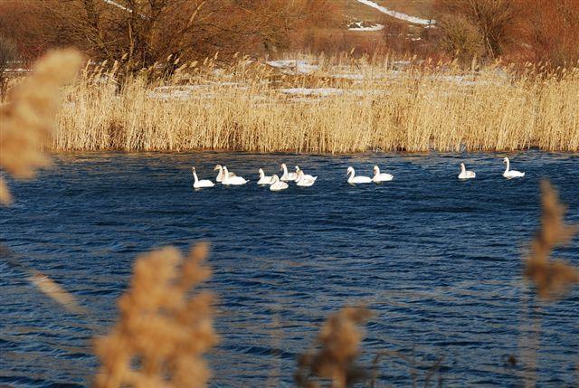 Labudovi na Krupačkom jezeru