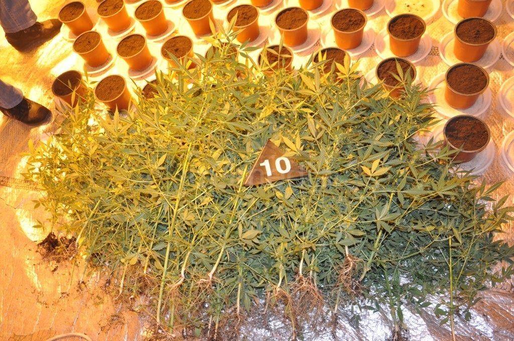 Uhapšen zbog zasada marihuane