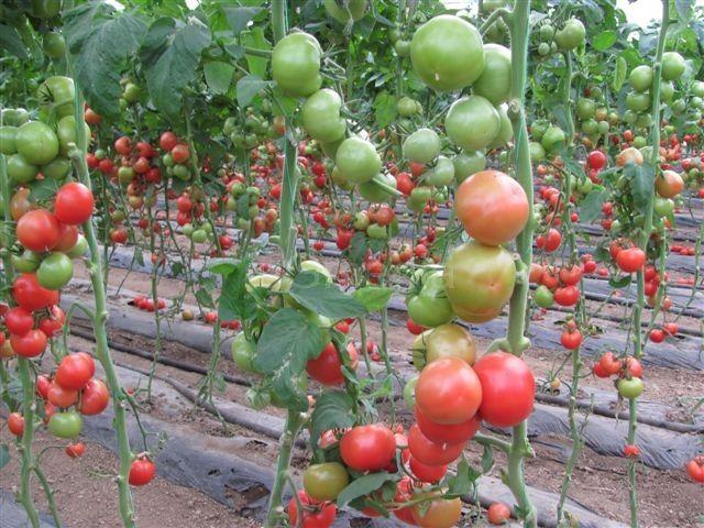 Cena paradajza vodi leskovačke povrtare u bankrot