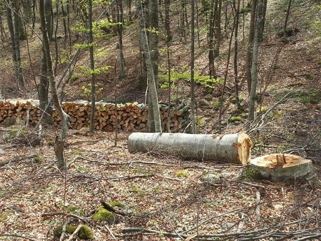 (Ne)kontrolisana seča bukove šume na Radan planini