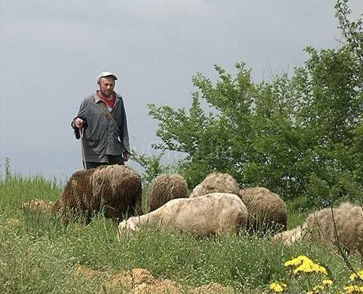 U Stupnici otrovane ovce?