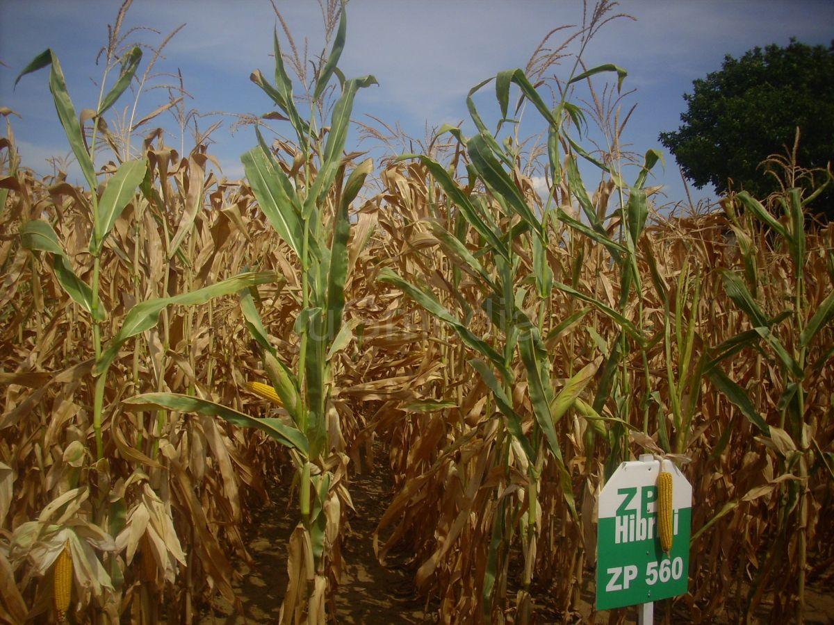 Počela berba kukuruza u Pčinjskom okrugu