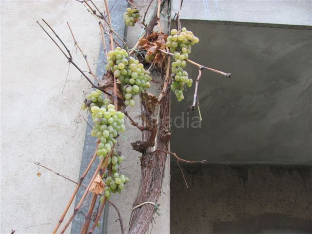 Na deda Radetovoj vinjagi sveže grožđe do Božića