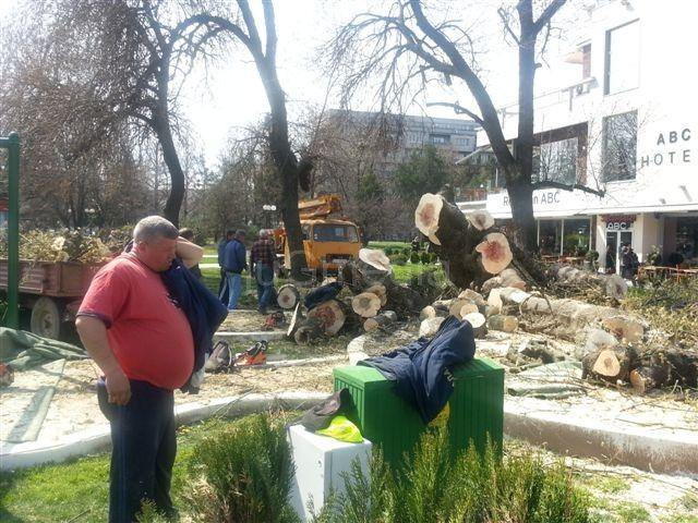 Posečen stari javor u centru Leskovca