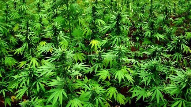 Policija zaplenila blizu pet kilograma marihuane