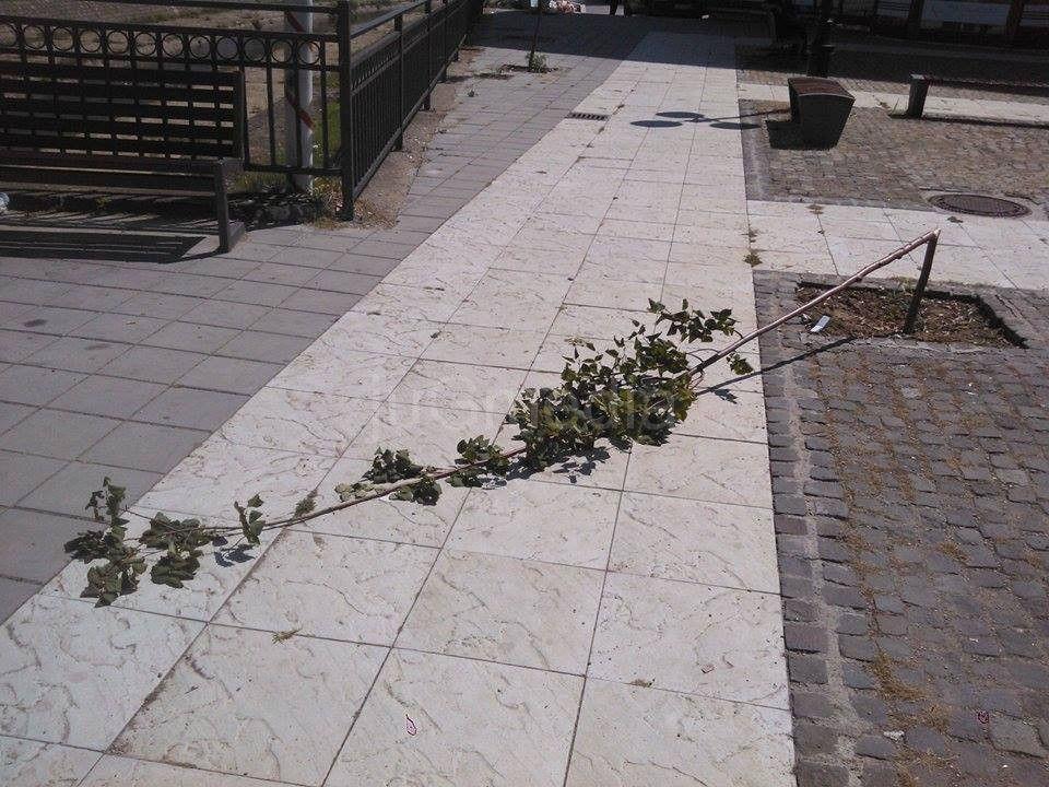 VANDALIZAM: Polomljena mlada stabla u centru grada
