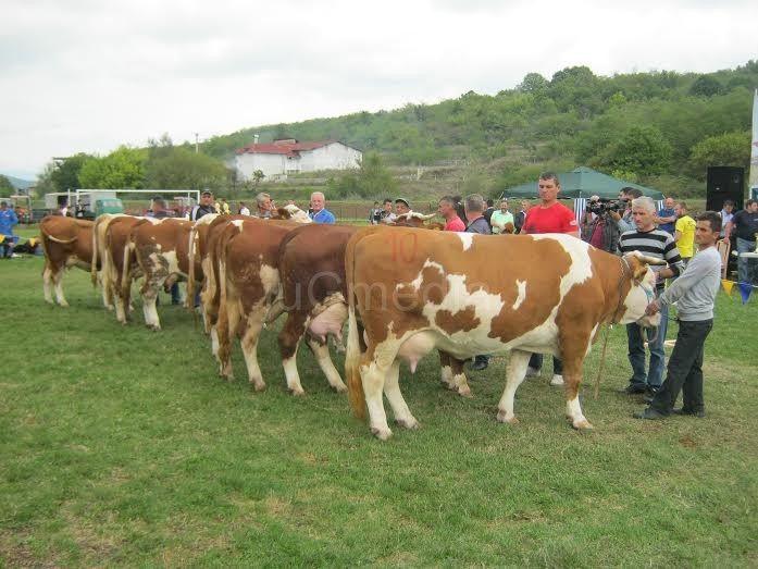 Najbolja krava iz Končulja