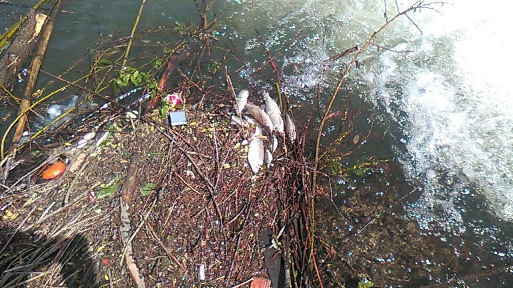 Na hiljade mrtvih riba pluta Veternicom (VIDEO)
