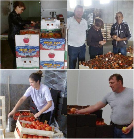 KO SE KAKO SNAĐE Njima ne smeta niska cena paradajza jer ga izvoze za Rusiju