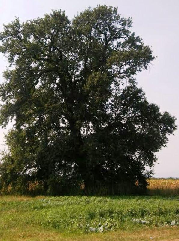 Spašavaju najstariji hrast na jugu Srbije