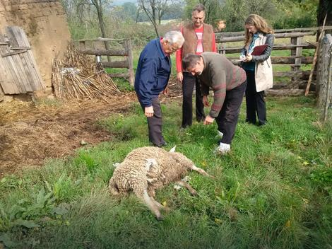 CELO SELO U STRAHU Vukovi zaklali stado ovaca