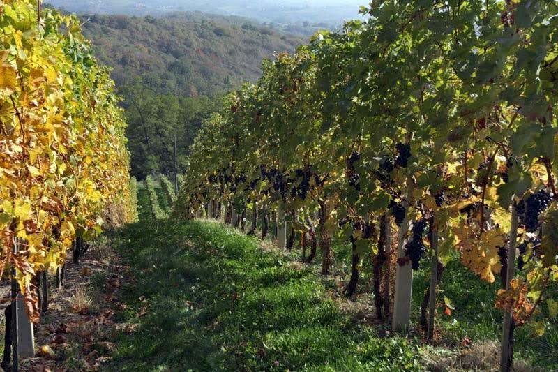 Azijska voćna mušica napala vinograde u niškom kraju