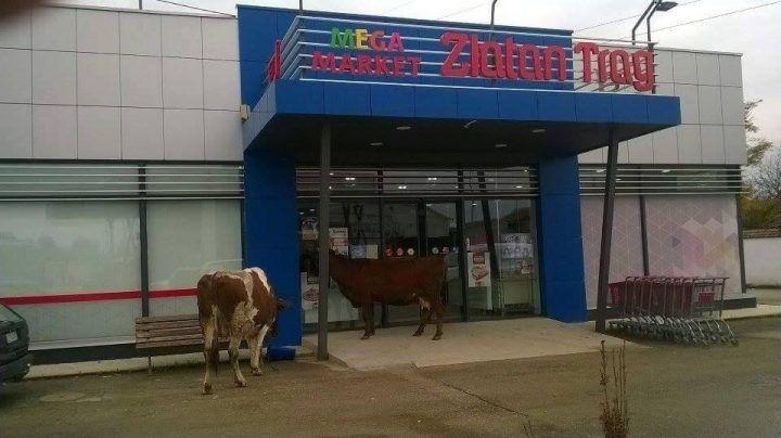 ČULE ZA SNIŽENJE? Pošle krave u supermarket