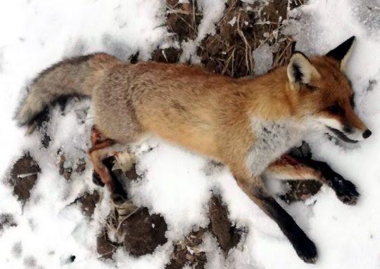 Lovci na Suvoj planini uhvatili divlju mačku i lisice