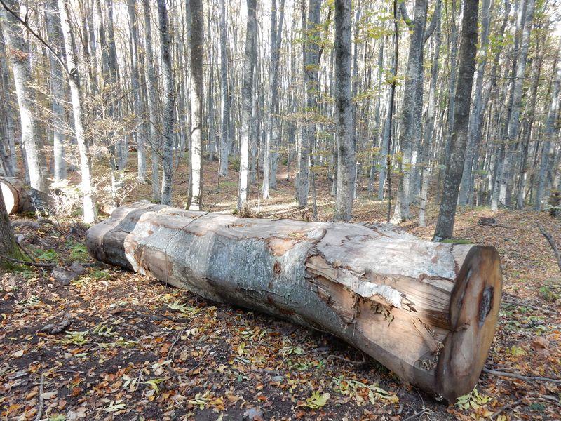 Drvoseču ubila bukva
