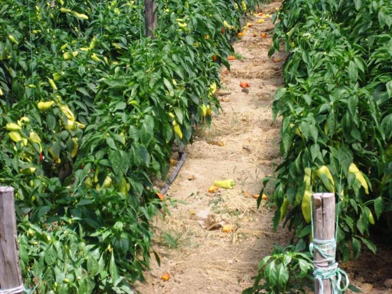 Vlasotince plaća kamatu na kredite poljoprivrednika