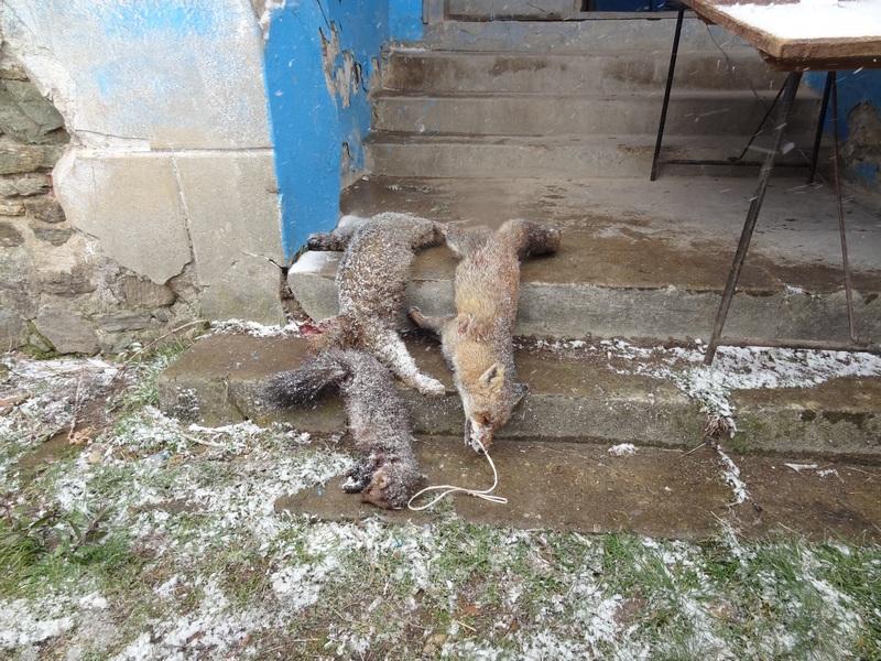 Na Babičkoj gori ulovili lisice kune i divlju mačku