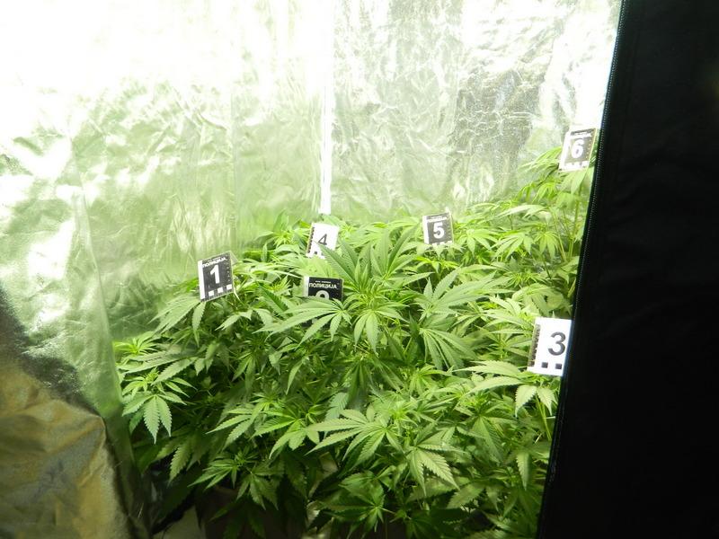 Laboratoriju za uzgajanje marihuane smestili u sopstvenoj kući