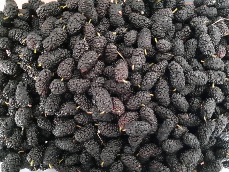 ČUDVOTVORNE DUDINJE Slatki plodovi leče anemiju, vrtoglavicu, loše varenje, šećerne bolesti…