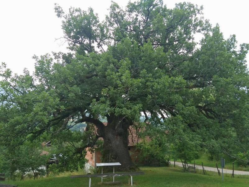 Hrast u Divljani, najstarije živo biće na Balkanu