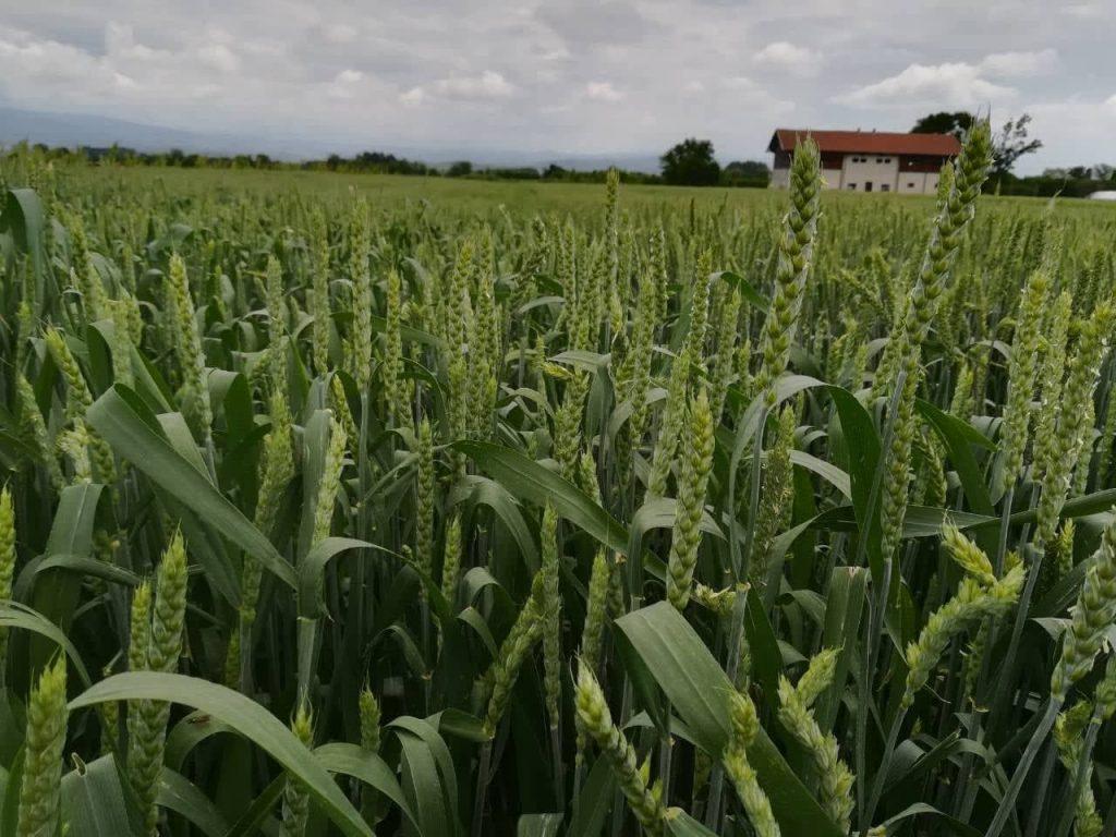 Kiša odložila žetvu pšenice, prinosi manji od očekivanih