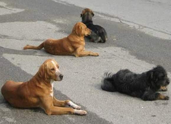 Za dva meseca uhvaćena 42 napuštena psa
