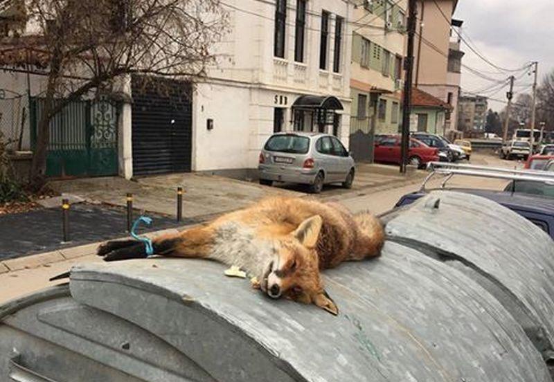 Mrtva lisica bačena u blizini osnovne škole