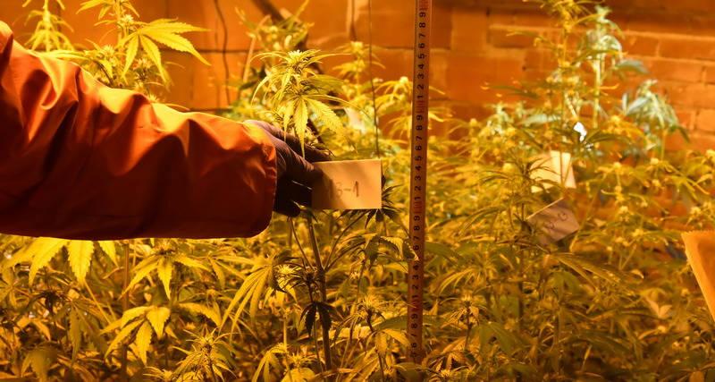 Otkrivena laboratorija za uzgoj marihuane: Pohapšeni i dileri i kupci