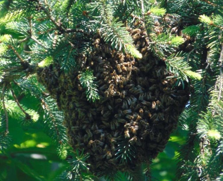 (foto priča) Najlepša divlja košnica pčela