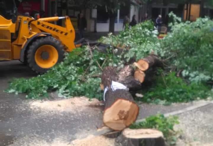 Krivična prijava zbog seče drvoreda u Aleksincu