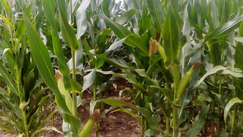 Stanje kukuruza na leskovačkim poljima obećava dobar rod
