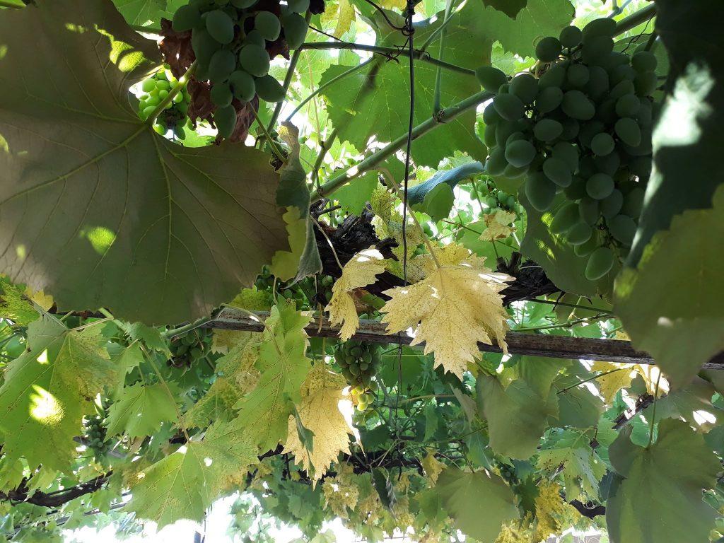 Kako sprečiti zlatasto žutilo vinove loze