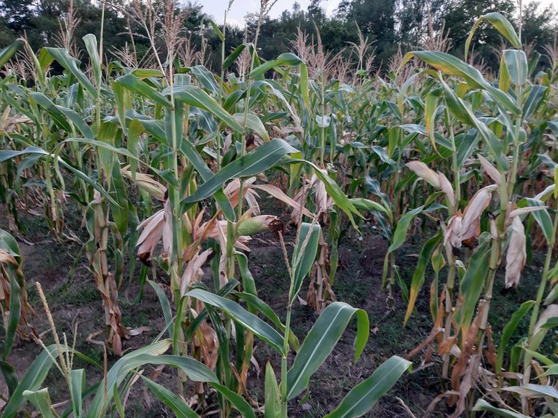 Nekima će ambari biti puni kukuruza, a nekima – prazni