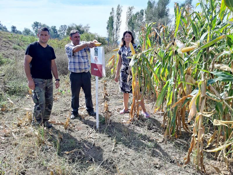 DANI POLJA Domaći hibrid 3023 lider po prinosu kukuruza