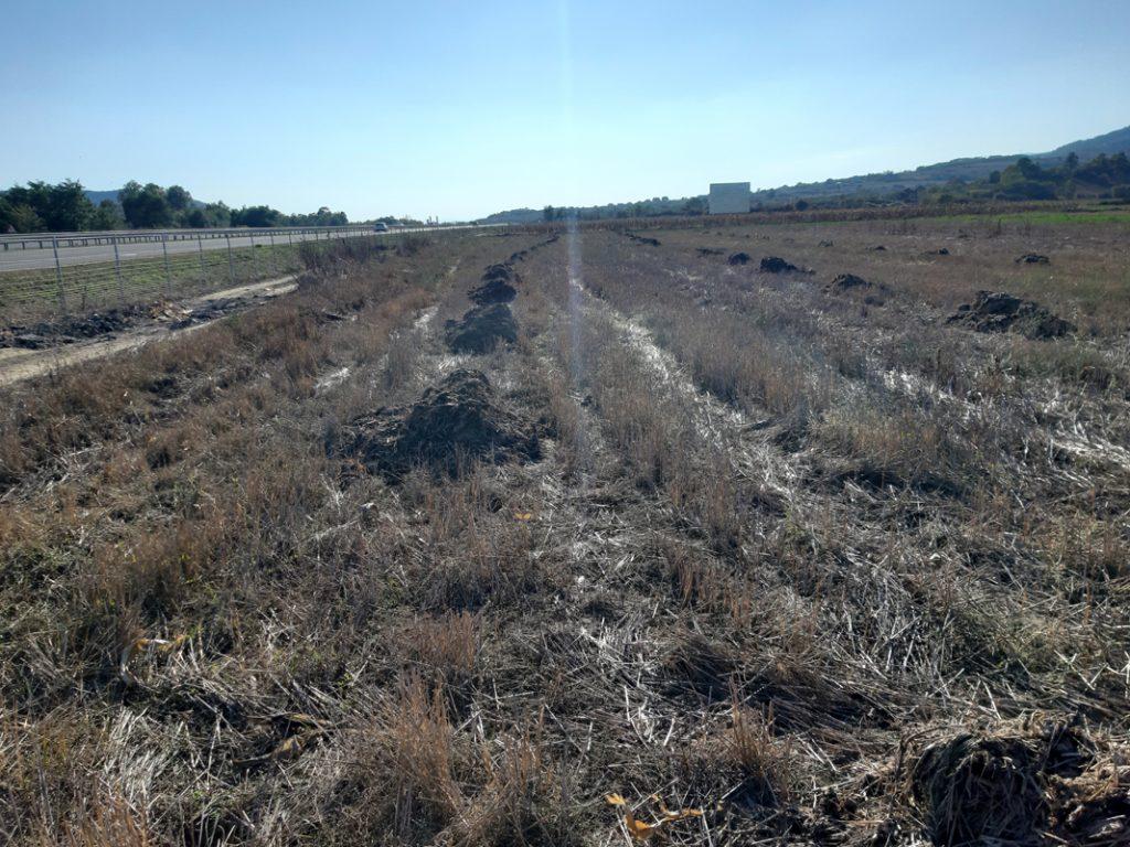 Kasni setva pšenice