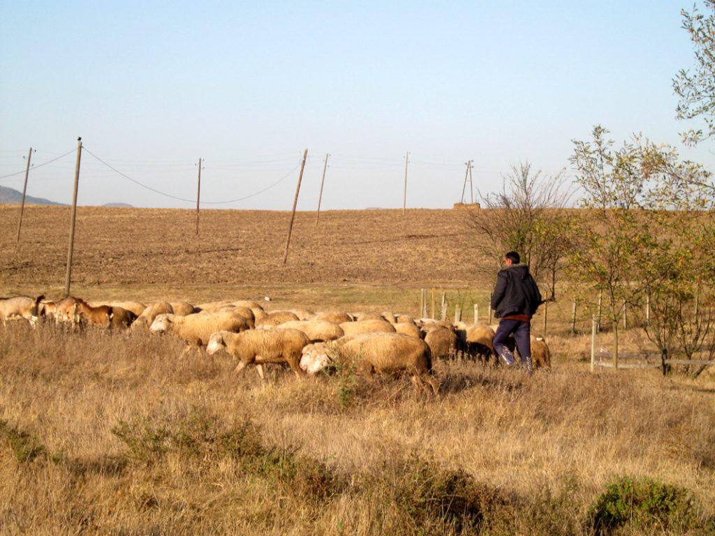 Na vranjskim farmama ovaca zabeležen veći broj grla