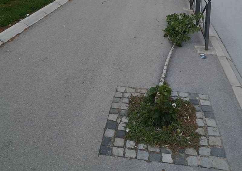 Huligani polomili četvorogodišnja stabla mečje leske