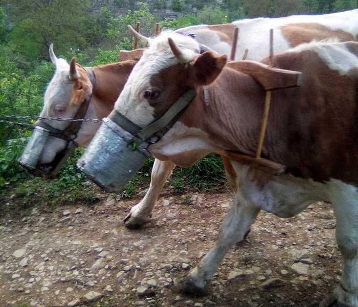 Krave u Kamenom selu nose maske