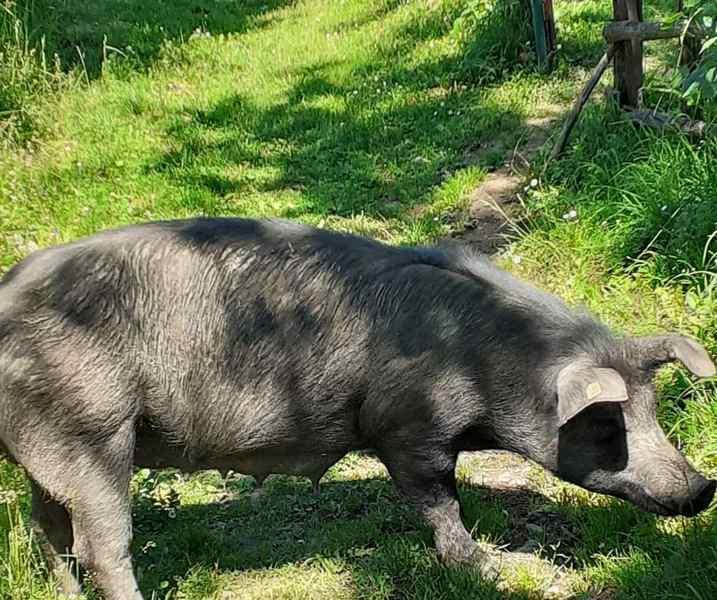 KOMŠIJSKA NETOLERANCIJA Sloboda za svinje ili pravda za vlasnike uništenih bašti?