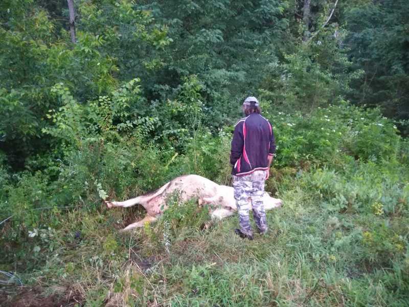 Strujna žica sa bandere ubila kravu, vlasnik srećom ostao živ