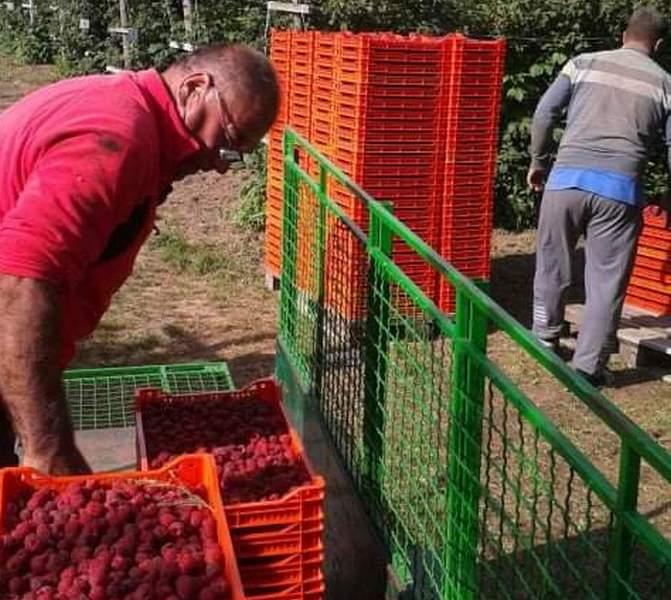 OD HOBIJA DO EGZISTENCIJE Porodica Ristić za 37 godina zasade malina proširila na više od četiri hektara