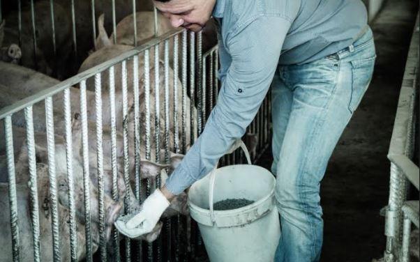 Novi strah od afričke svinjske kuge u Srbiji dok se virus širi Evropom
