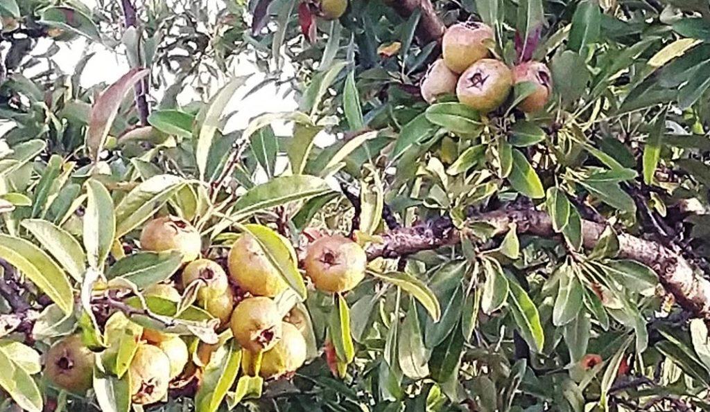 Divlje voće u Trgovištu čeka da ga neko obere